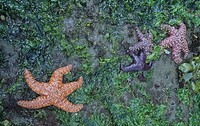 Ochre Sea Stars ,Pisaster ochraceus, in the intertidal zone with Sea Lettuce ,Ulva, Pacific Coast. Note the color variation in the Sea Stars.