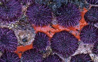 Red Sponge ,Ophlitaspongia pennata, among Purple Sea Urchins ,Strongylocentrotus purpuratus, on an intertidal rock, Pacific Coast of North America.