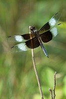 Widow Skimmer Dragonfly Libellula luctuosa on perch while searching for prey.