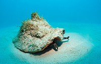 Conch active on the sandy ocean floor Strombus gigas, Bahamas, Atlantic Ocean.\r\n