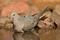 Mourning Dove drinking ,Zenaida macroura,. North America.