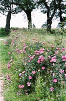 Roses in France.