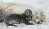 Galapagos Sea Lion ,Zalophus californianus, newborn pup next to its mother, Espanola Island, Galapagos Islands, Pacific Ocean.