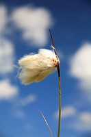 Cotton grass Jamtland Sweden close_up.