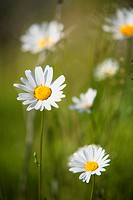 Daisys in a meadow Jamtland Sweden.