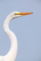 Great Egret juvenile Ardea alba, Southern USA.