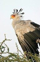Secretary Bird Sagittarius serpentarius in Acacia Tree, Tanzania.