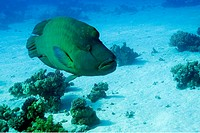 Humpback wrasse (Cheilinus undulatus), Red Sea, Egypt