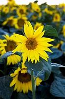 Sun flowers Hungary