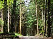 Bosque de pinos y hayas en el sendero de gran recorrido GR 11 (senda pirenaica), en las inmediaciones del Puerto de Urkiaga - Valle de Erro - Navarra ...