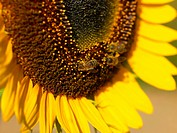 Bees on a Sunflower Helianthus