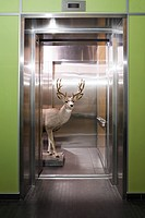 Deer in elevator