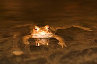 common toad in water / Bufo bufo