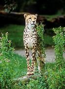 king cheetah _ standing / Acinonyx jubatus rex