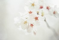 Cherry flowers on branch, close up, white background