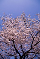 Cherry blossoms against blue sky, blue background, Fukuoka prefecture, Japan