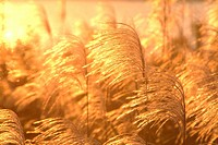 Japanese pampas grass at sunset