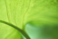 Close_up of taro leaf