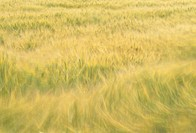 Wheat field which flutters in a wind