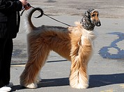 afghan hound, tazi