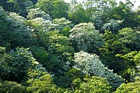 Taiwan, Taoyuan County, Longtan Township, Xiao Tzukeng Historical Trail, Tung Blossom, Paulownia, Tung Flower