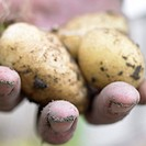 Harvested potatoes in hand