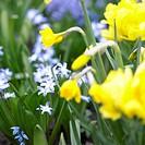 Chionodoxa, Narcissus