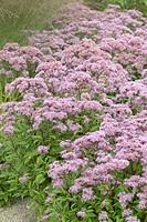 Eupatorium maculatum Purple Bush