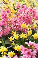 Bergenia pink, Narcissus Tete a Tete