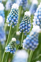 Muscari aucheri Mount Hood