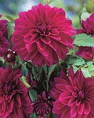 Dahlia decorative Le Baron