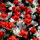 Tulipa + Crocus