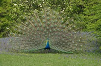 Peacock Pavo displaying tail feathers, Bavaria, Germany, front view