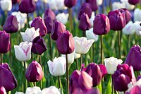 Tulipa triumph Negrita + Shirley