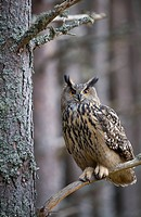 Eurasian Eagle_owl, Bubo bubo, Germany, Europe