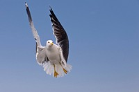 Flying Lesser black_backed gull, Larus fuscus, Texel Island, The Netherlands, Europe