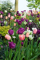 Tulipa + Dicentra + Heucheralilyflowering + formosa + single late Menton + Spring Green + Negrita + Luxuriant