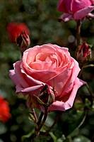 Rosa Salzaperle