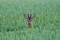 Roe buck in a grain field in spring, Capreolus capreolus, Hesse, Germany, Europe, roe deer, roe deers, roe buck, roe bucks, antlers, male, spring, gra...