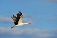 Flying White stork, Ciconia ciconia, Hesse, Germany, White stork, white storks, bird, birds, wading bird, wading birds, migrating bird, migrating bird...