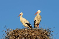 White storks on the nest, Ciconia ciconia, Hesse, Germany, White stork, white storks, bird, birds, wading bird, wading birds, migrating bird, migratin...