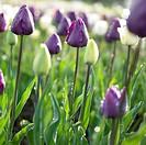 Tulipa Negrita, Shirley