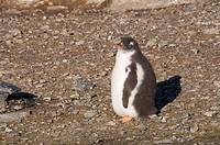 Gentoo penguin, Gourdin Island, Antarctic Peninsula, Antarctica, Polar Regions