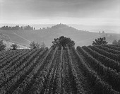 Vineyard Rows, San Gimignano, Italy