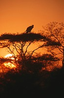 Secretary Bird Sagittarius serpentarius silhouette at sunset, Kruger National Park, South Africa