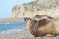 Big male southern elephant seal, resting on a beach in Valdes Peninsula, Patagonia Argentina