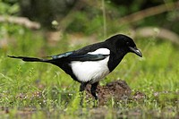 Magpie (Pica pica), Lake Kerkini, Greece