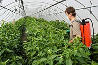 Farmer using sprayer in tomatoe greenhouse