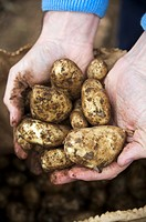 Hands holding freshly_dug Jersey Royals