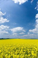 Field of canola and cloudy sky (thumbnail)